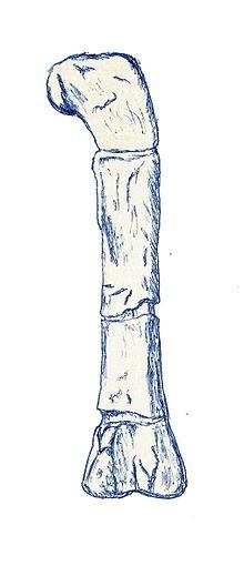 Erectopus