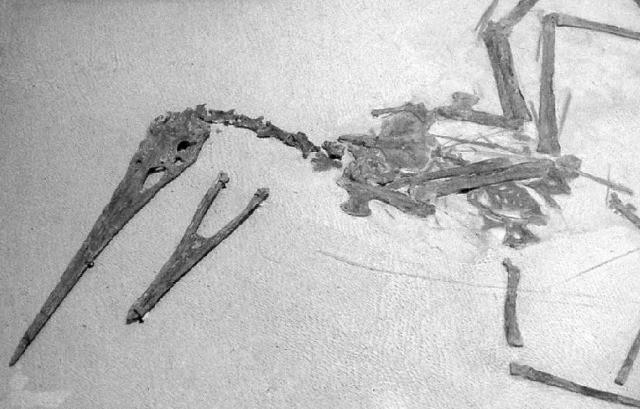 Ornithostoma