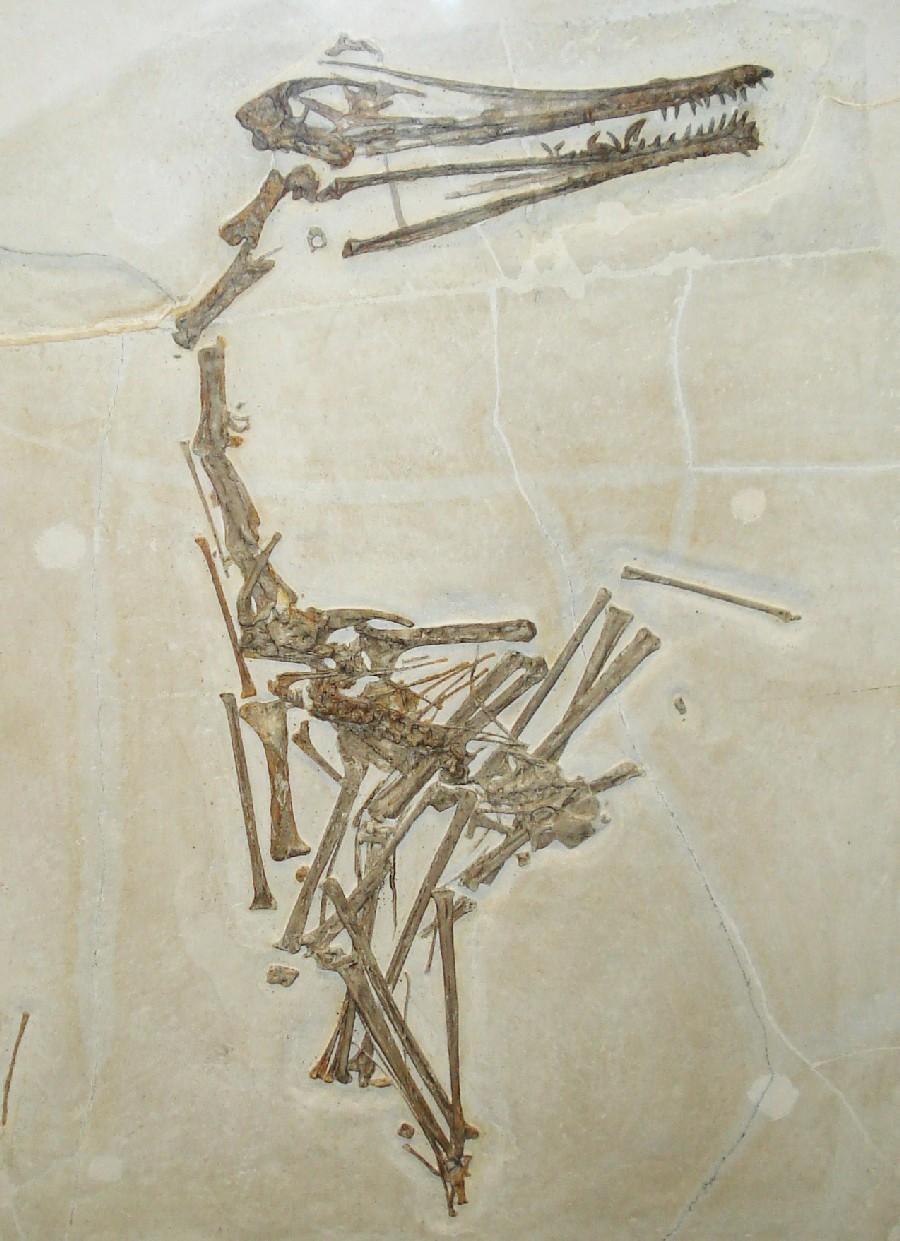 Ardeadactylus