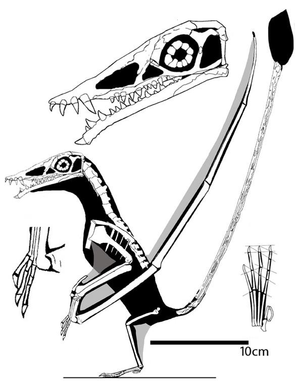 Campylognathoides