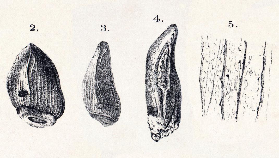 Cardiodon