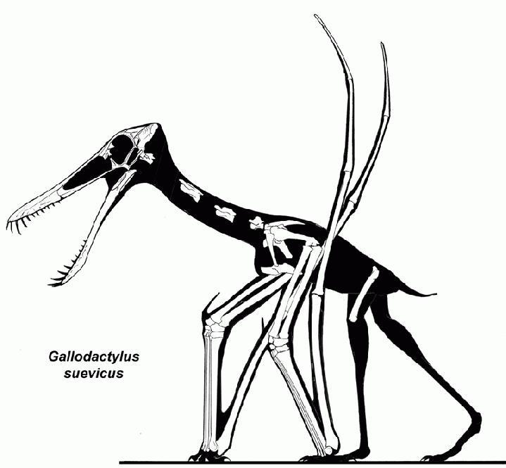 Cycnorhamphus
