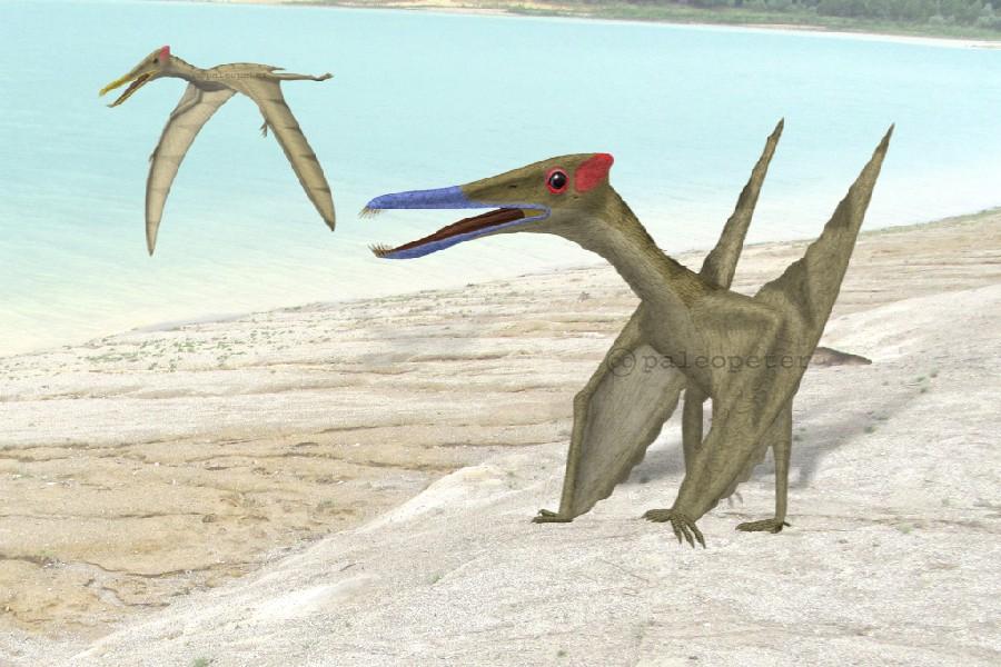 Gallodactylus