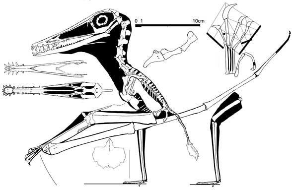 Haopterus