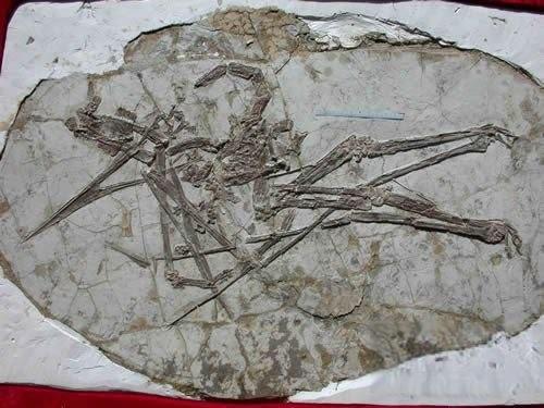 Jidapterus