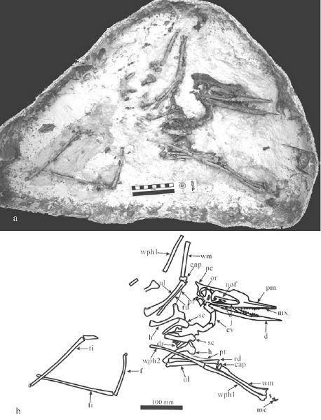 Noripterus
