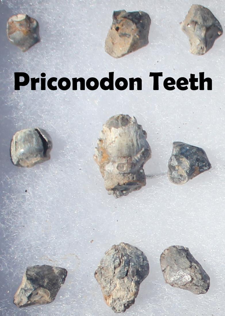Priconodon