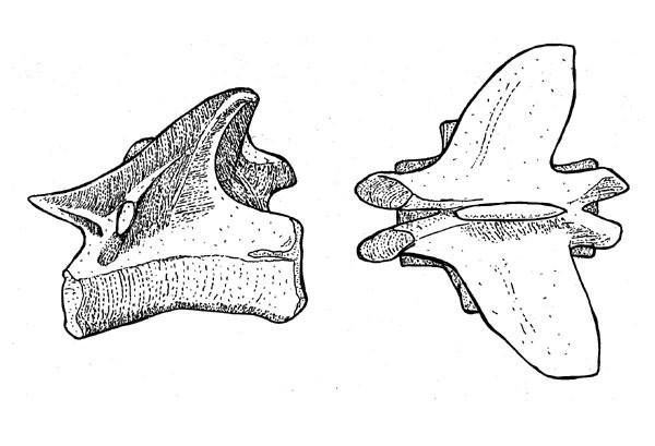 Pterospondylus