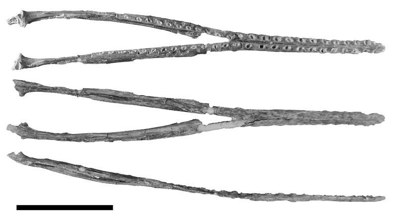 Aetodactylus