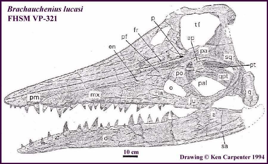 Brachauchenius