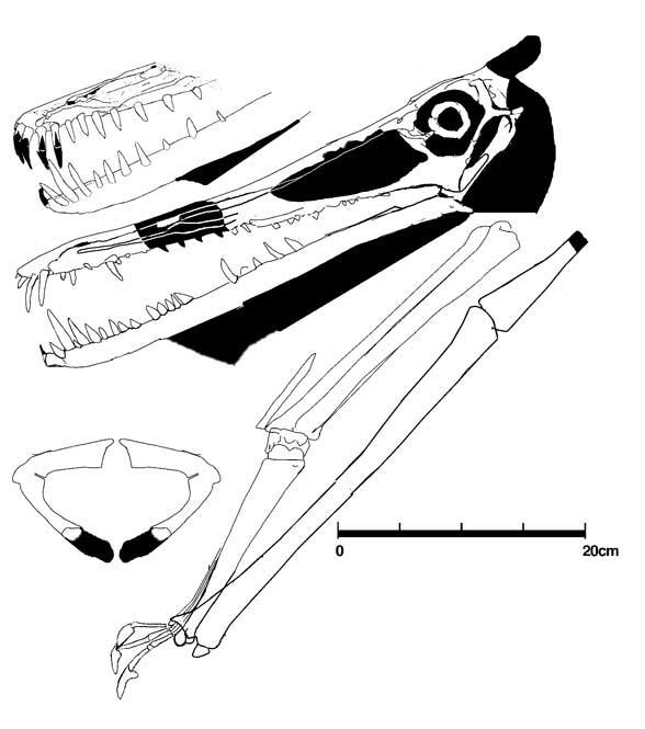 Brasileodactylus