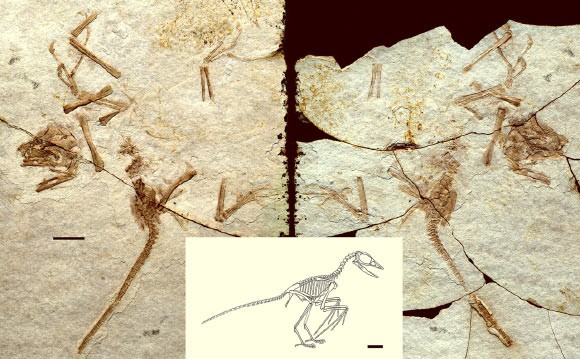 Scansoriopteryx