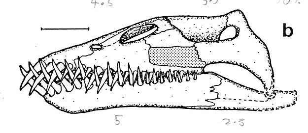 Microcleidus